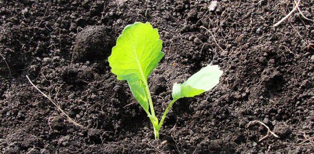 почва рассады капусты