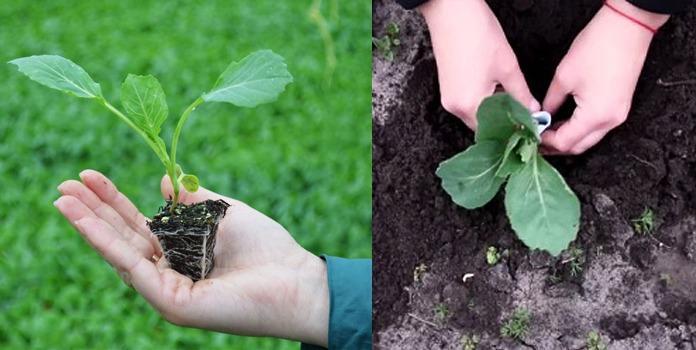 высаживаем рассаду капусты грунт