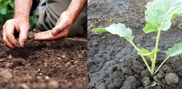 брюссельская капуста фото выращивание