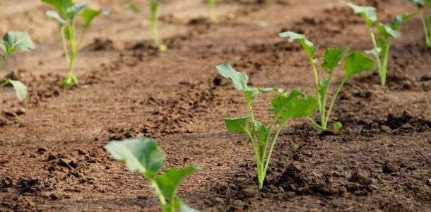 капуста кольраби фото выращивание