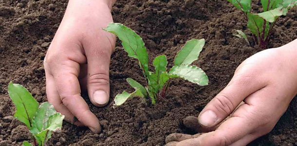 выращивание мангольда в открытом грунте