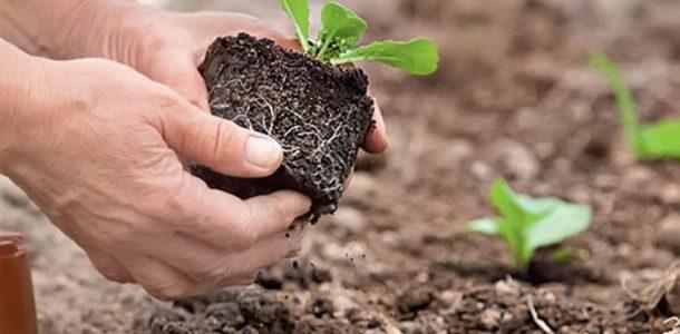 выращивание пекинки