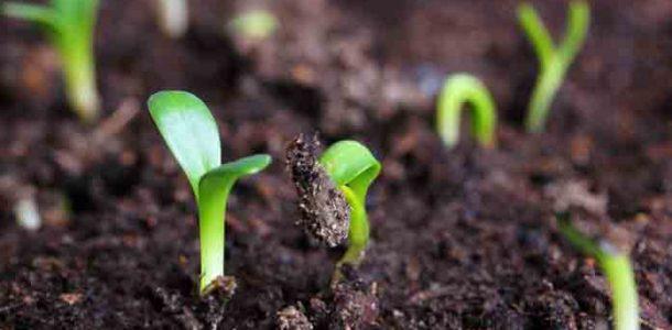 посев семян баклажан на рассаду
