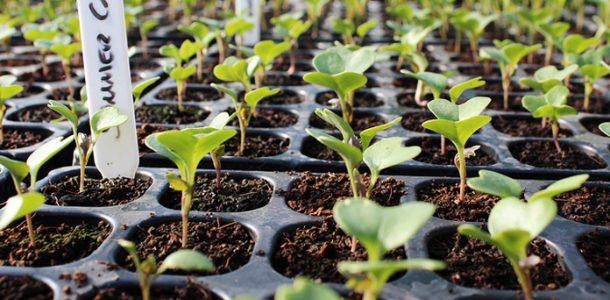 уход за рассадой капусты в Сибири