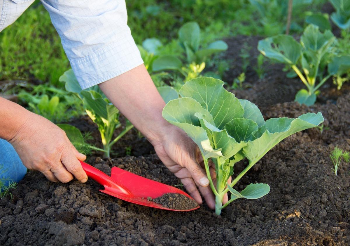посадка семян табака в открытый грунт