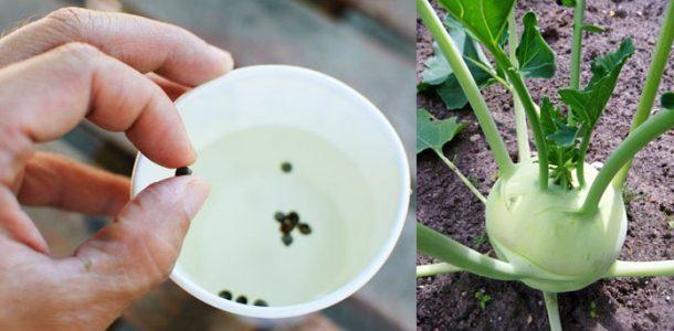 выращивание кольраби