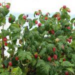 описание малины растение