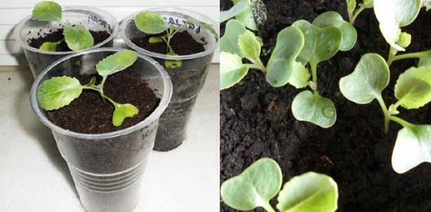 способы выращивания рассады капусты
