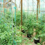 растения помидор