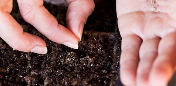 посадка семян баклажанов рассаду