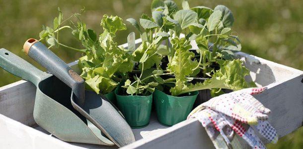 Посев капусты на рассаду сроки