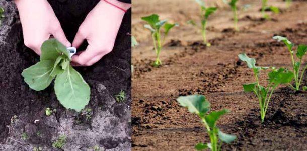 рассада капусты высадка в грунт