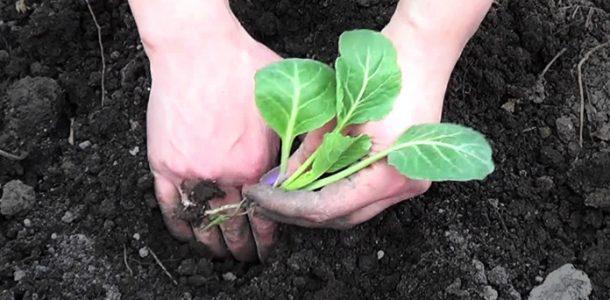 высадка рассады ранней капусты
