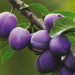 слива плоды
