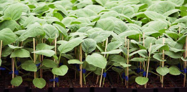 баклажан выращивание и уход