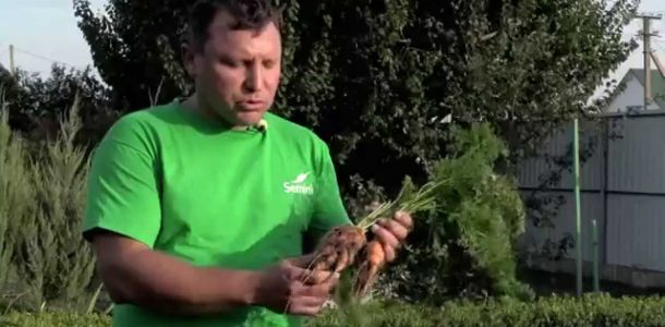 морковь посадка