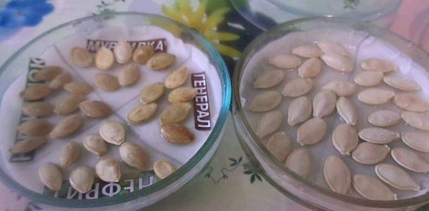 подготовка семян кабачков