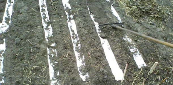посев моркови на бумагу