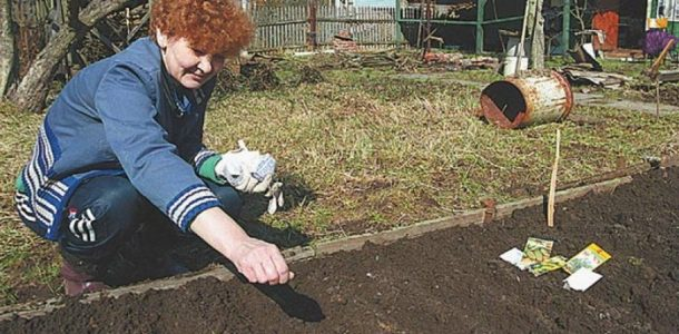 как посадить кабачок семенами
