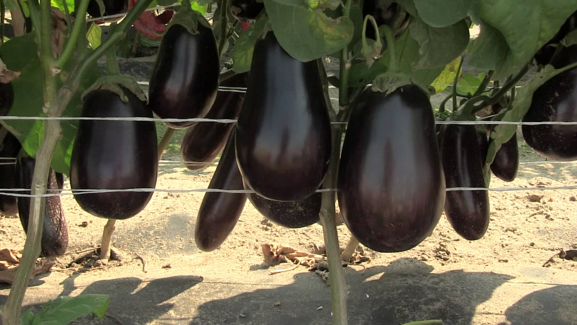 Как собрать семена баклажана - Садоводство
