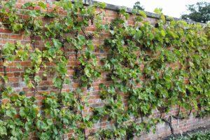 сорта винограда фото