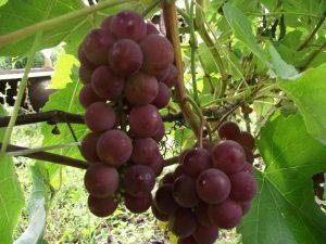 виноград сорт Гуна