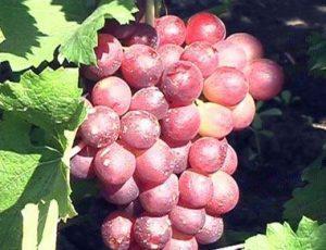 виноград сорт Кардинал