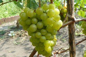 виноград сорт Жемчуг Саба