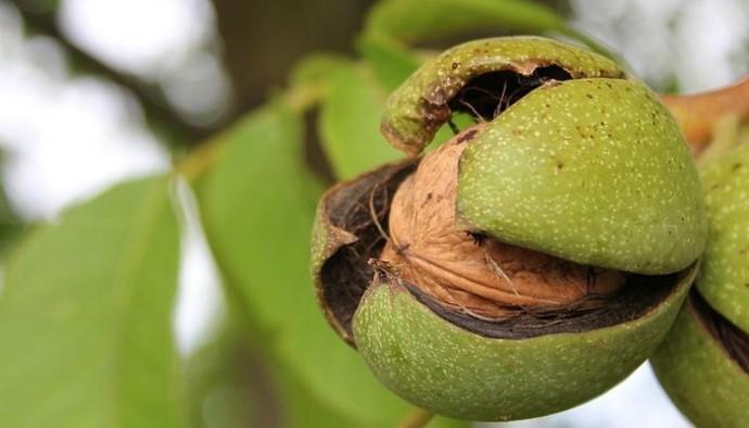 скороплодные сорта ореха