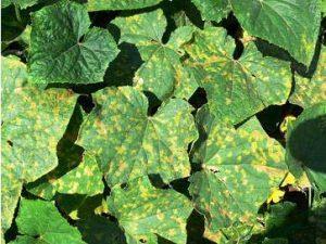 огурцы желтеют и сохнут листья