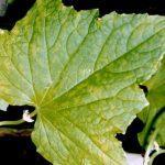 желтые пятна на листьях огурцов