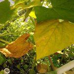 желтеют листья огурцов фото