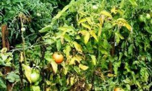 листья помидоров желтые фото