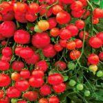 сорта томатов описание