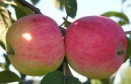 Описание сортов яблок