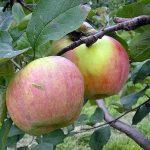 Яблоки красные сорта
