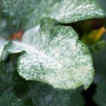 вблизи болезнь листьев огурцов