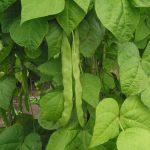 вредители бобовых культур