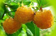 Лучшие сорта желтоплодной малины