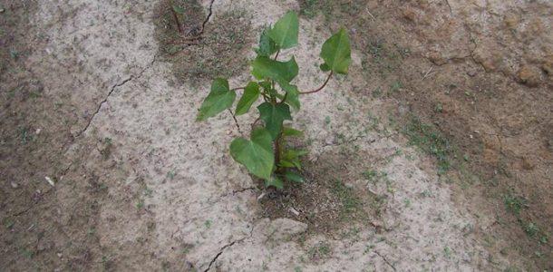 выращивание батата семян