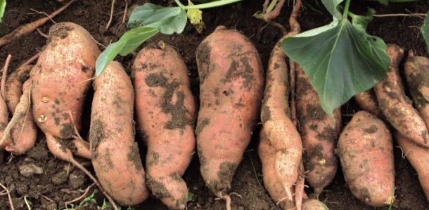 выращивание картофеля батат в Украине
