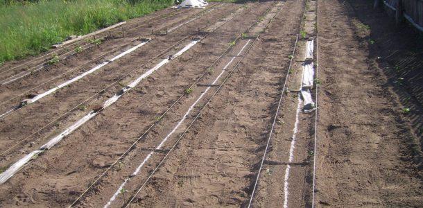 батат выращивание в подмосковье