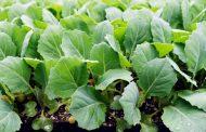 Высаживаем рассаду капусты в открытый грунт