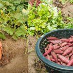 Выращивание батата в Подмосковье
