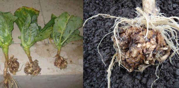 вид болезни капусты