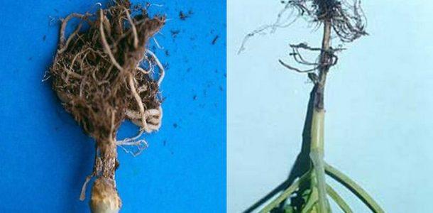 болезни капусты открытом грунте