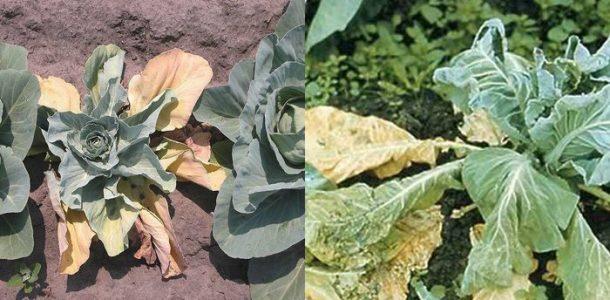 болезни капусты и борьба с ними