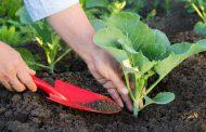 Распространенные болезни рассады капусты