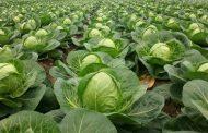 Подкормка рассады капусты: выбор удобрения