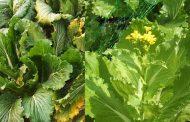 Почему цветет пекинская капуста